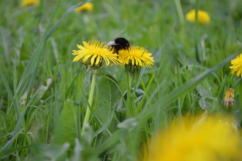 Mach' es wie die Hummel ...  Den honigsüßen Nektar enthält die Blüte, solange man die Staubgefässe sieht ...