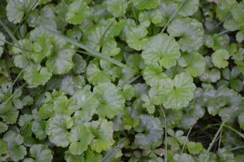 Gundermann - Glechoma hederacea - Herbalista