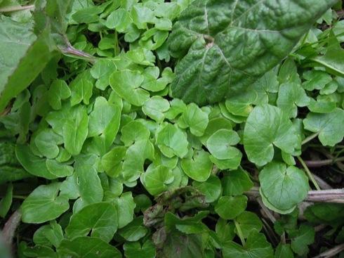 Scharbockskraut (Ranunculus ficaria). Foto: 4. April