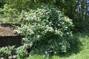 Holunderbusch–sambucus_nigra